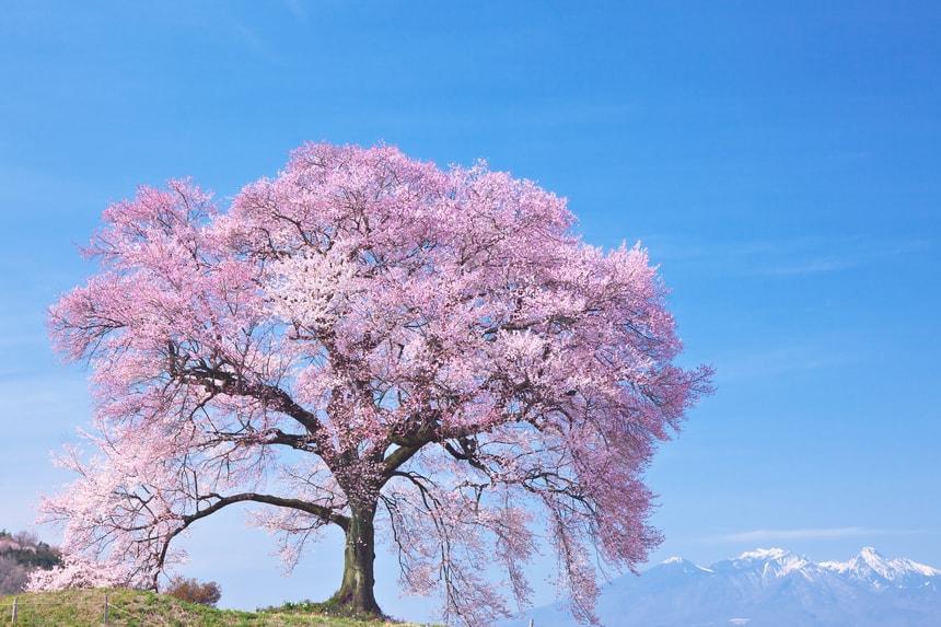 山梨県わに塚の桜