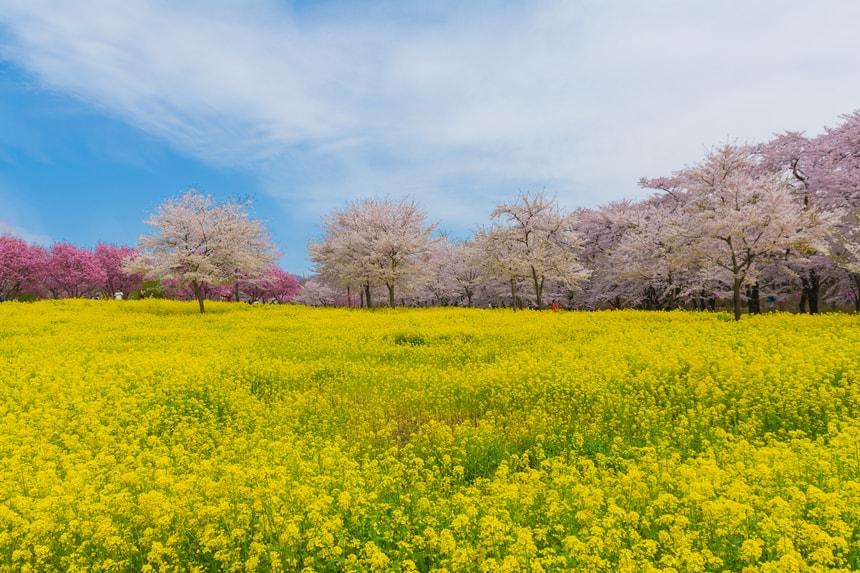 岐阜県苗代桜