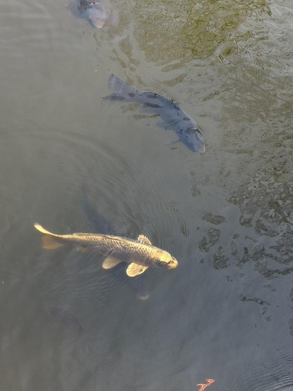 人面魚 鯉の寿命は一般的におよそ20~50年とされる