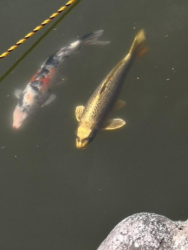 人面魚 貝喰の池は二龍神の棲み処と伝えられており、人面魚は龍の化身とも云われる