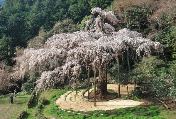 長興山のしだれ桜(かながわの名木100選)