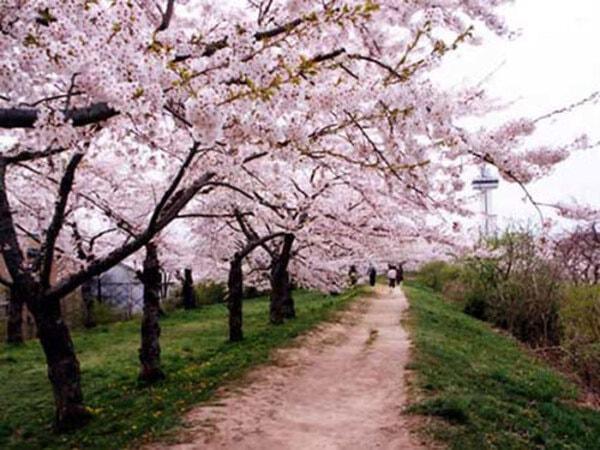 桜樹林(景観一例)