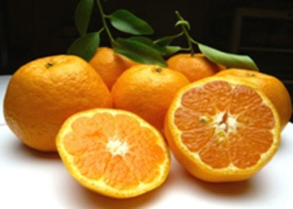 早生みかんに始まり、ぽんかん・はるか・清見オレンジ・ニューサマーオレンジなど様々な品種を10月から翌年5月まで収穫(写真は一例)