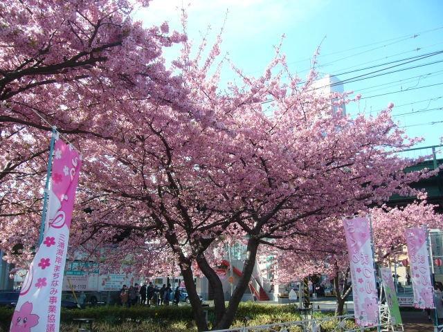 海岸 まつり 三浦 桜