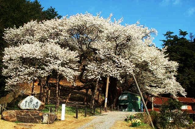【桜・見ごろ】三隅大平桜
