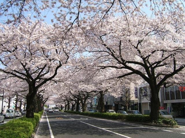 【桜・見ごろ】平和通り