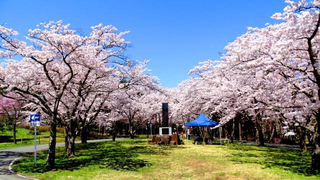 桜・見ごろ】夜越山森林公園(青森県)の観光イベント情報|ゆこゆこ