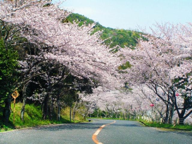 【桜・見ごろ】津峯公園