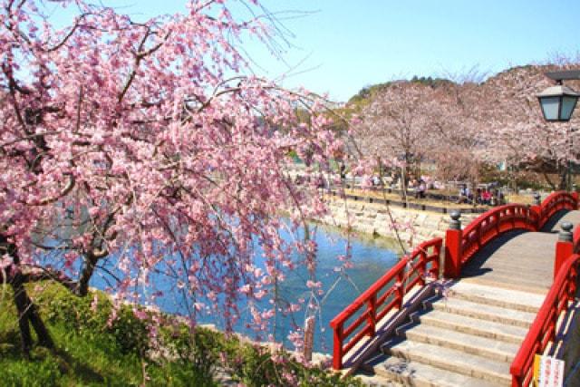 【桜・見ごろ】岩脇公園