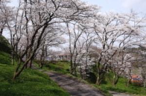【桜・見ごろ】木次公園