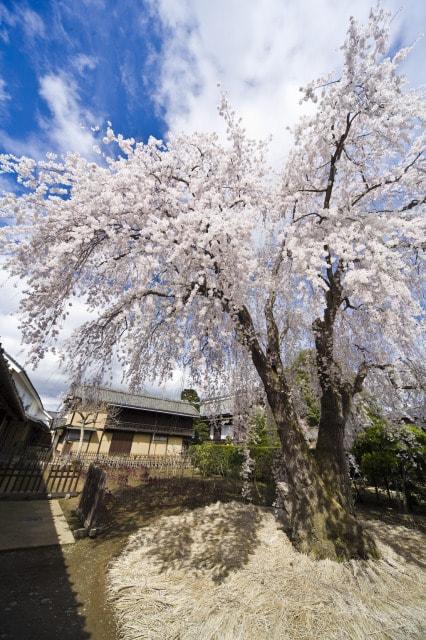 【桜・見ごろ】豪商の館 田中本家博物館