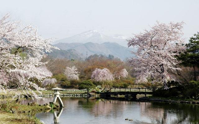 【桜・見ごろ】四季の里 緑水苑