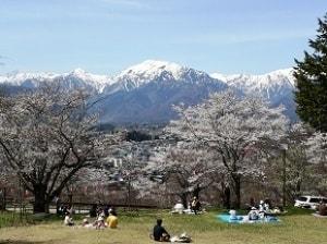 【桜・見ごろ】大町公園・観光道路