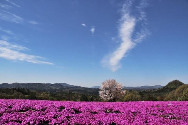 芝桜とネモフィラの丘