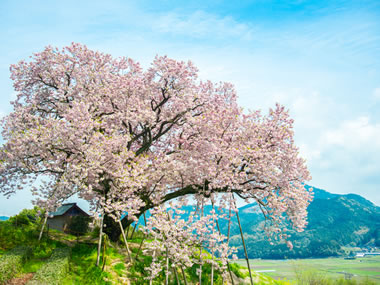 """【嬉野温泉】一面の茶畑や桜を愛でながら""""温泉三昧""""の1日を過ごす"""