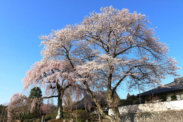 【泉崎さつき温泉】しだれ桜の古木がシンボルの村が誇る「こがねの湯」