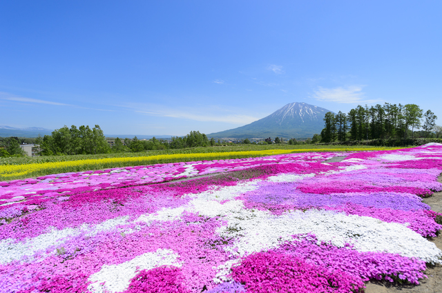 【倶知安温泉】鮮やかな色どりを魅せる「芝桜」が名所の温泉地