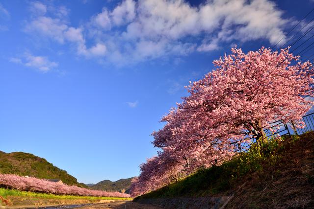 【笹原温泉(河津)】一足早い満開の桜並木にうっとり