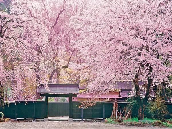 【武家屋敷の桜】車で約10分。毎年4月末頃には満開の桜が見られます