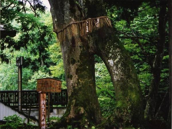 *子持杉。当館の温泉につかり、子持杉にまたがると子宝に恵まれると言われています。