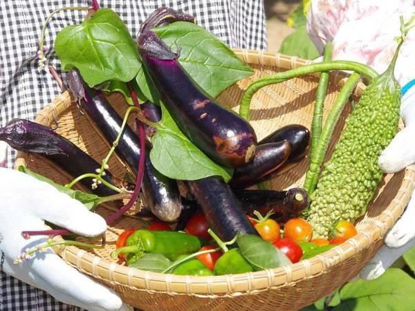 *当館の横には【自家農園】があり、無農薬野菜を育てています。朝捕り・夕方取りなど。
