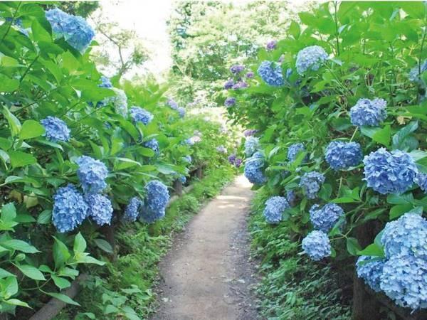 【周辺情報】6/22~7/20まで護摩堂山にてあじさい祭り開催!