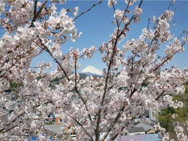 【春の敷地内】駐車場から見る桜と富士山