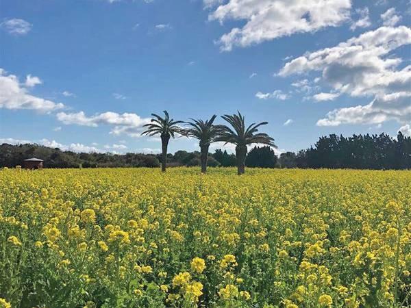 【今が見頃!伊良湖の菜の花】例年1月中旬~3月下旬に咲く菜の花。一面が黄色に染まった美しい景色に癒される