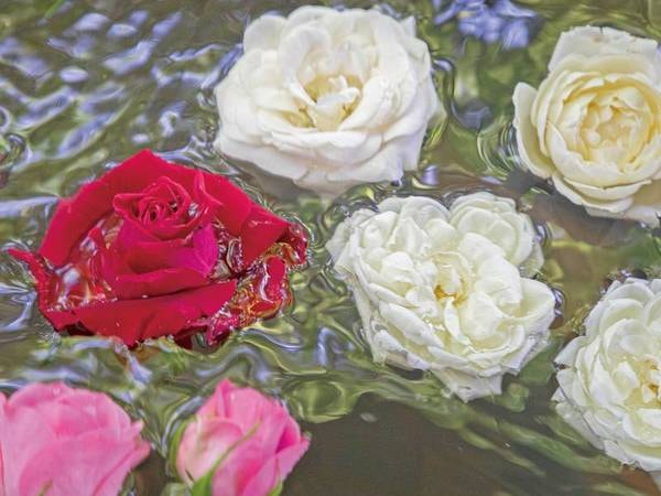 【こもれびの湯】 毎日15:00~22:00は約200輪のバラが浮かぶ