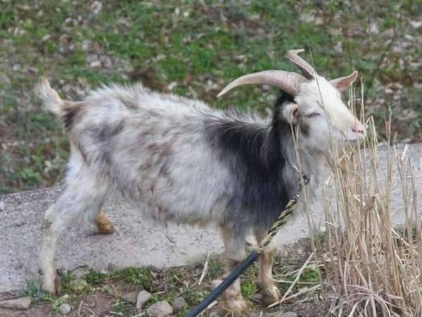 【宿周辺】近所で飼われているヤギ