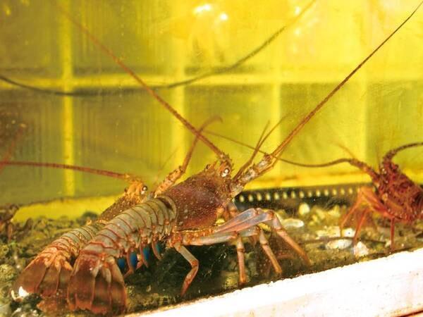 【いけす】漁解禁中は伊勢海老料理のオプションも登場