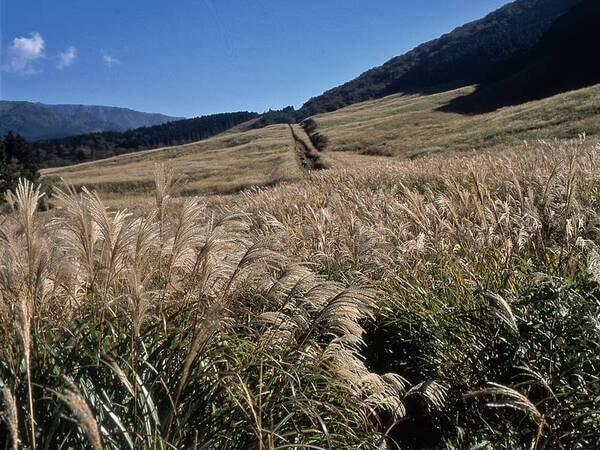 【周辺観光】9月~11月の仙石原はススキの穂が黄金色に色づき、金色の草原を散策!車で約15分