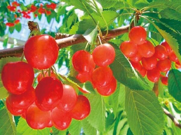 近隣果樹園にて季節毎に様々なフルーツ狩りが楽しめます。 詳しくはホテルまでお問い合わせください