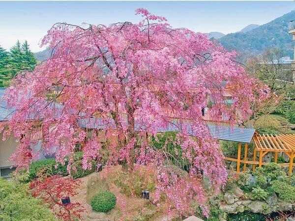 【春の風景】9階庭園の樹齢約100年の八重紅枝垂桜。春の満開時にはライトアップします。