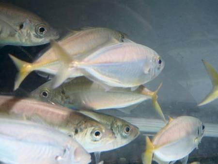【鮮魚イメージ】生簀からそのまま調理するので鮮度抜群!