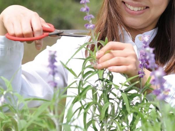 敷地内ではラベンダーを始めとしたハーブを栽培。4~11月の休日はハーブコーディネーターによる育て方や利用方法の無料レクチャーあり