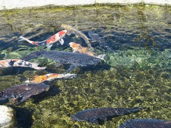 湧き水を使ったシステムを針江では川端(かばた)と呼んでいます。端池では食後のお皿を池につけると鯉が残りかすをきれいに食べてくれます。このような究極なエコの生活、美しい景色を体感いただけます。