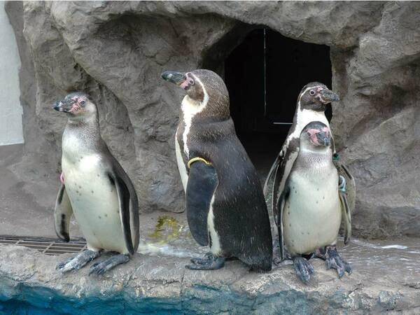 【ペンギンハウス】玄関に向って左手には、かわいいフンボルトペンギン4羽が、毎日皆様をお出迎え♪